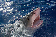 tiger shark ( Galeocerdo cuvier ) lunging for bait, North Shore, Oahu, Hawaii, USA ( Central Pacific Ocean )