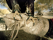 "An eagle rest on the ""Bialeye"", the protective cowhide mitten that a hunter wears on his right hand and forearm whenever he's handling his eagle. Curved and razor sharp, the claws of the eagle are especially designed to catch and hold their prey.<br /> <br /> Eagle Hunting festival in Western Mongolia, in the province of Bayan Olgii. Mongolian and Kazak eagle hunters come to compete for 2 days at this yearly gathering. Mongolia"