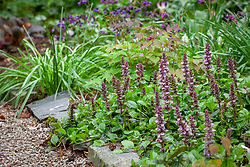 Ajuga reptans - Bugle - growing at the front of a border in the woodland garden. Informal path edged with stones