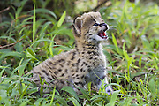 Serval<br /> Felis serval<br /> 2.5 week old orphan kitten calling for foster mother Tanzania