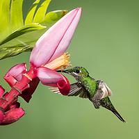 Heliodoxa jacula<br /> on Musa velutina, banana,  <br /> Costa Rica, June 2021