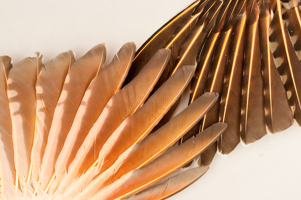 Two Red-shafted Flicker(Colaptes auratus) wings in the Burke Museum, University of Washington, Seattle, Washington