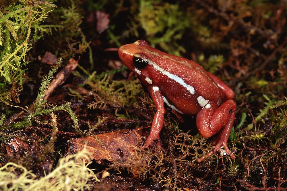 Poison Arrow Frog<br />Epipedobates tricolor<br />ECUADOR