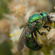 A tiny but beautiful pollinator, this female ultra-green sweat bee (Agapostemon texanus) is nectaring on fresh buckwheat blossoms. Cabrillo National Monument, Point Loma, San Diego, California