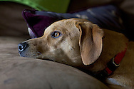 Citrus Heights, Calif. - A mixed-breed dog stares out a window while laying on a couch on March 6, 2014.