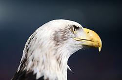 Crystal Palace mascot Kayla the eagle