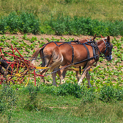 An Amish farmer uses his horses to work in his tobacco field in Lancaster County, PA.8