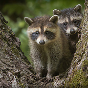 Pair of young North American raccoon kits found exploring outside the den, peering down from a tree perch. Photographed on nature preserve at Ohio Bird Sanctuary. Willow Creek Press 2018 selection for Baby Animals desktop calendar.