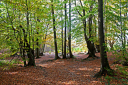 ©Licensed to London News Pictures 22/10/2020  <br /> Sevenoaks, UK. The calm after storm Barbara today with bright autumnal colours at Toys Hill woodland in Sevenoaks, Kent.  Photo credit:Grant Falvey/LNP