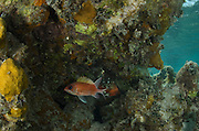 Squirrelfish (Holocentrus adscensionis)<br /> Halfmoon Caye, Lighthouse Reef Atoll<br /> Belize<br /> Central America
