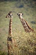 A giraffe in the Selenkey Reserve near Amboseli National Park, Kenya
