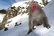 Japanese Macaque, Macaca, fuscata, adult foraging in snow for food, hot water spring, Jigokudani National Park, Nagano, Honshu, Asia, primates, old world monkeys, snow, macaques, behavior, onsen, red face
