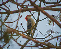 Red-bellied Woodpecker. Image taken with a Nikon D300 camera and 80-400 mm VR lens (ISO 200, 400 mm, f/5.6, 1/400 sec).