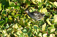 Immature Common American searching for food among water hyacinths on Lake Chapala, Jocotopec, Jalisco, Mexico