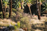 The Ethiopian Wolf (also known as the Simien Fox) appearing through the alpine vegetation of the Simien Mountains National Park, Ethiopia.