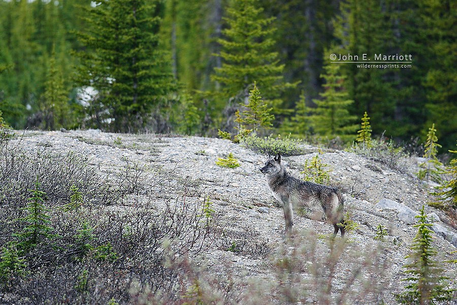 Silver coloured timber wolf (gray wolf) in the Canadian Rockies