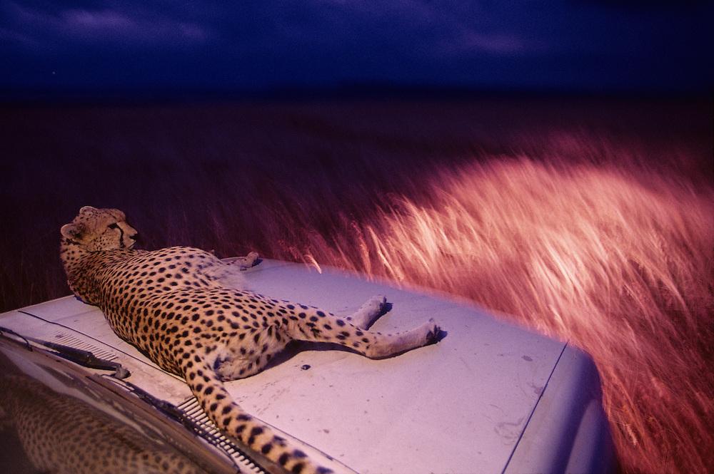 Kenya, Masai Mara Game Reserve, Adult female Cheetah (Acinonyx jubatas) resting on hood of safari truck in tall grass at dusk