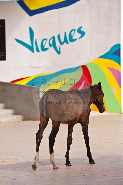 Wild paso fino horses walk through the Isabel Segunda town square on Vieques Island, Puerto Rico.