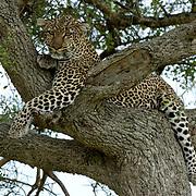 Leopard (Panthera pardus) Sitting in tree. Masai Mara National Park. Kenya. Africa.