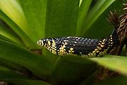 Tropical Chicken Snake (Spilotes pullatus)<br /> Amazon<br /> ECUADOR<br /> Vivarium ID # 3270<br /> Captive