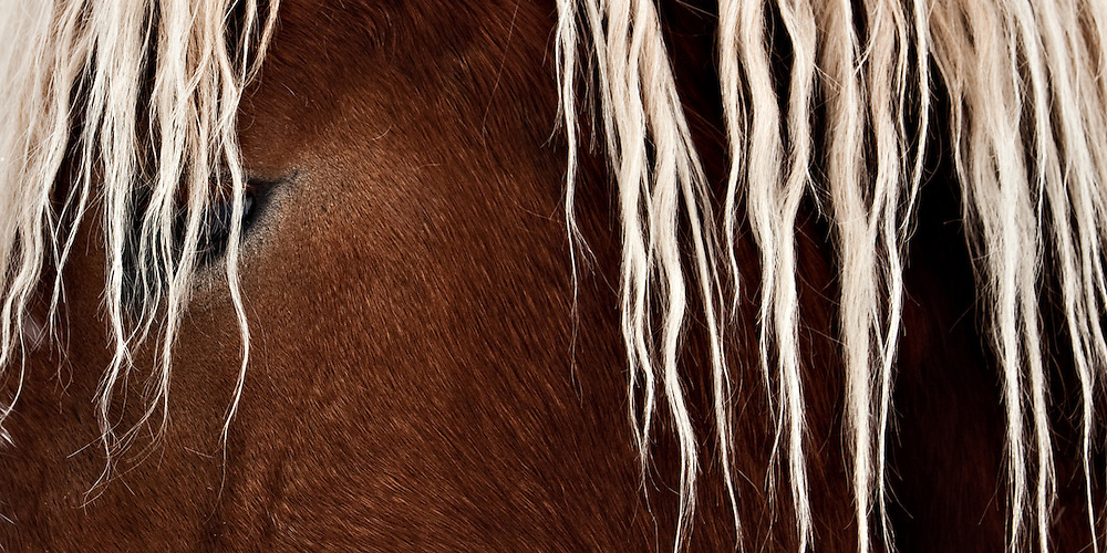 young male wild mustang with beautiful blonde mane