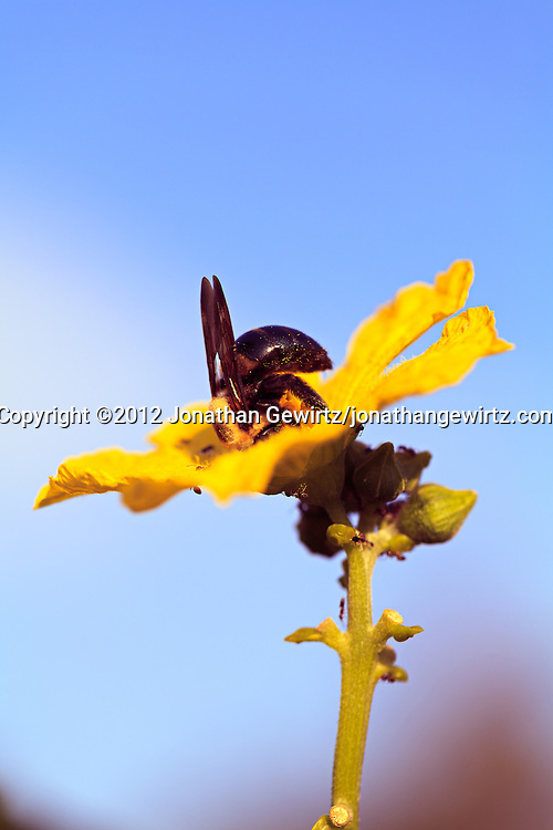 A Bumblebee (bombus) and ants gather pollen from a yellow flower. WATERMARKS WILL NOT APPEAR ON PRINTS OR LICENSED IMAGES.