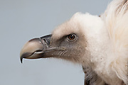 Griffon Vulture, Gyps fulvus, Captive, Kent UK, large Old World vulture in the bird of prey family Accipitridae, Eurasian griffon, Least Concern IUCN Red List , Appendix II of CITES