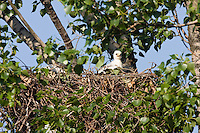 Kaiseradler-Küken im Nest, Aquila heliaca, Ost-Slowakei / Eastern Imperial Eagle chick in nest, Aquila heliaca, East Slovakia