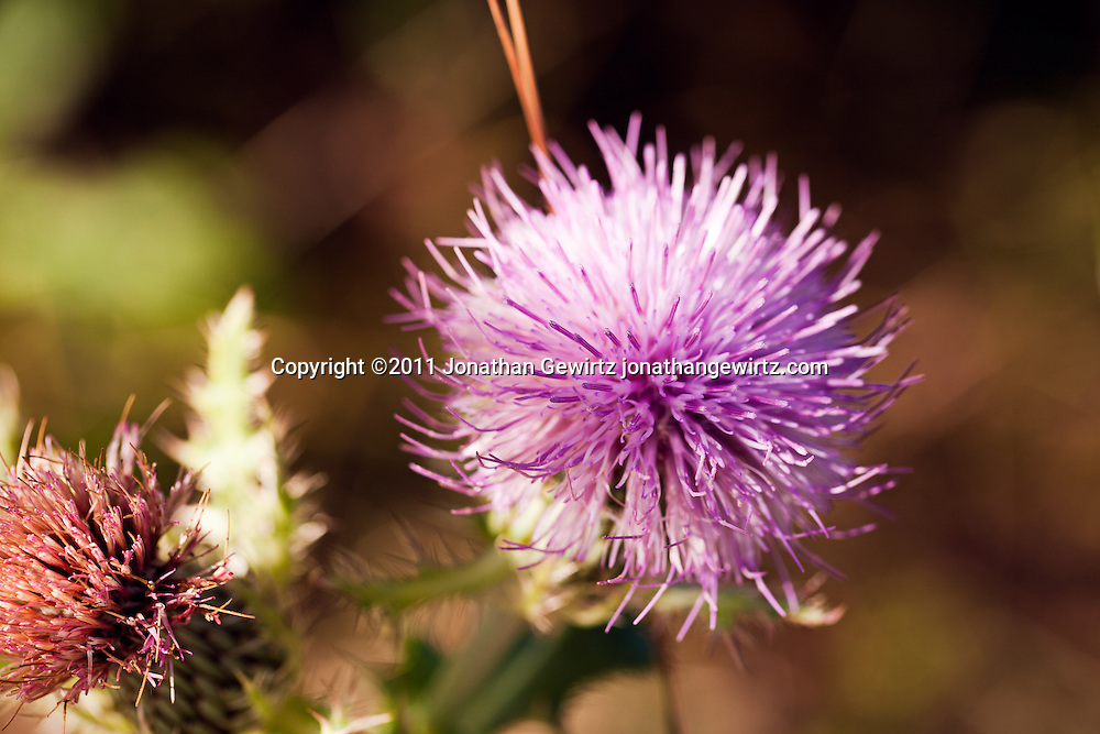 Red and violet thistle flowers in Florida's Everglades National Park. WATERMARKS WILL NOT APPEAR ON PRINTS OR LICENSED IMAGES.