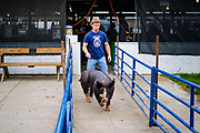 21 JULY 2020 - COLFAX, IOWA: A 4H contestant takes his market hog to the show ring at the Jasper County Fair in Colfax, about 30 miles east of Des Moines. Summer is county fair season in Iowa. Most of Iowa's 99 counties host their county fairs before the Iowa State Fair. In 2020, because of the COVID-19 (Coronavirus) pandemic, many county fairs were cancelled, or scaled back to concentrate on 4H livestock judging. The Iowa State Fair was cancelled completely. The Jasper County Fair cancelled most events and focused on just the 4H contests. Tuesday were the swine contests.            PHOTO BY JACK KURTZ
