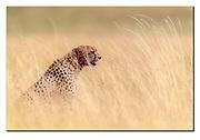 Male cheetah in the long savanna grass of Maasai Mara, Kenya. Nikon D5, 600mm, f4, EV+0.33, 1/5000sec, ISO400, Aperture priority