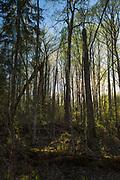 "Setting sun sets the evening mood in oak (Quercus robur) forest in spring, Nature reserve ""Barkavas ozolu audze"" (dabas liegums ""Barkavas ozolu audze""), Latvia Ⓒ Davis Ulands | davisulands.com"