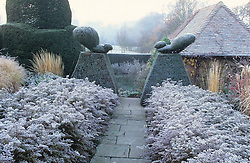 Frost in the Peacock Garden at Great Dixter with topiary and aster hedges - Aster lateriflorus 'Horizontalis'.