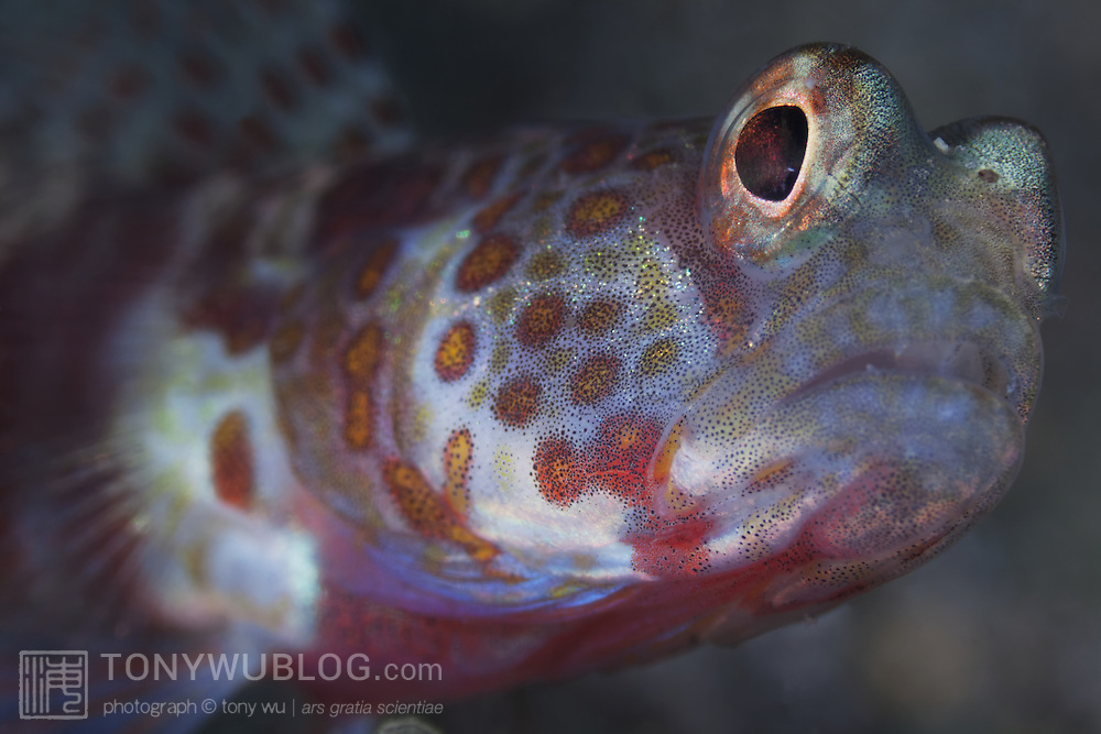 Super macro close-up 3x life-size magnification photograph of a shrimp goby (Amblyeleotris sp.) staring into camera lens, taken at Waga Waga in Milne Bay, Papua New Guinea