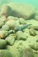 Mudpuppy Salamander<br /> <br /> Roger Peterson/Engbretson Underwater Photography