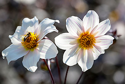 Dahlia 'Twyning's After Eight' AGM with bees