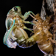 A cicada emerges from their exoskeleton at night in The Bahamas.