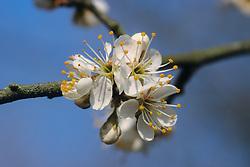 Pruim, Prunus domestica