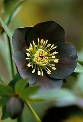 Helleborus x hybridus Ashwood Garden hybrids - syn. Helleborus orientalis hort. Lenten rose