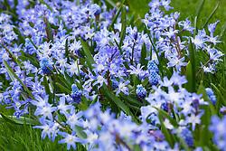 Anemone blanda 'Blue Shades', Chionodoxa luciliae, Muscari azureum
