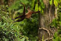 Woolly Monkey (Lagothrix poeppigii) at the Tiputini Biodiversity Station, Orellana Province, Ecuador<br /><br />Female making a huge leap.