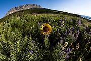 Wildflowers in Glacier National Park.