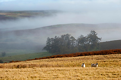 © Licensed to London News Pictures. 23/10/2019. Builth Wells, Powys, Wales, UK. Sheep stand in the fog on the Mynydd Epynt range near Builth Wells in Powys after a very cold night with temperatures dropping to around 1.5 deg C in parts of Powys. Photo credit: Graham M. Lawrence/LNP
