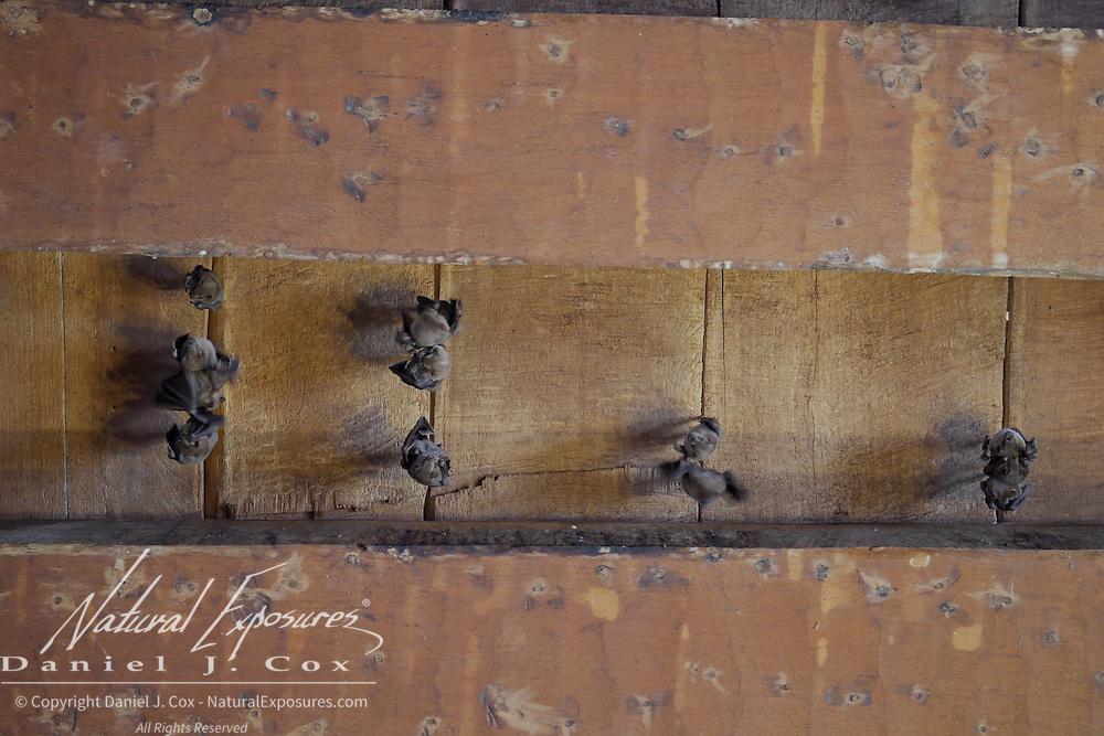 Fruit bats hang from the ceiling in an old Church in Havana, Cuba
