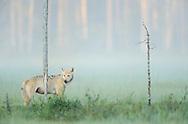 European wolf, Canis lupus, Kuhmo Finland