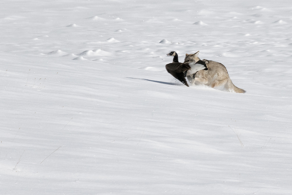 A coyote takes a Canada goose from along the Madison River in Yellowstone and runs it to a safe place to feed.