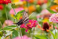 03006-00411 Zebra Swallowtail (Protographium marcellus) on Zinnia Union Co. IL