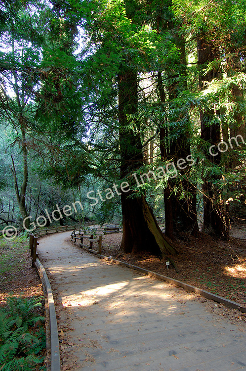 Trail among the Redwoods of Muir Woods.    <br /> <br /> Documented as living up to 2000 years and is the tallest tree in the world. Height to 350 feet or more.    <br /> <br /> Species: Sequoia sempervirens