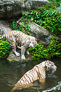 White tigers at the Singapore Zoo, Singapore, Republic of Singapore