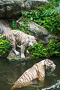 White tigers at the Singapore Zoo, Singapore, Republic of Singapore